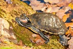 Vermelho-hooting da tartaruga Imagem de Stock