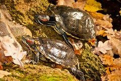 Vermelho-hooting da tartaruga Foto de Stock Royalty Free