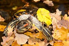 Vermelho-hooting da tartaruga Imagens de Stock