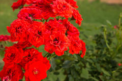 Vermelho longo Rosa da haste Foto de Stock