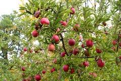 Vermelho - maçã deliciosa Imagem de Stock