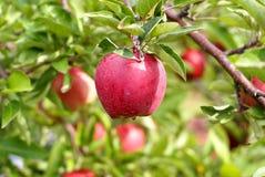 Vermelho - maçã deliciosa Foto de Stock Royalty Free