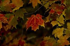 Vermelho na chuva Imagens de Stock