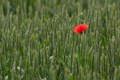 Vermelho no campo do verde Imagem de Stock