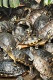 Vermelho-orelhudo, tartarugas de Florida Fotografia de Stock Royalty Free