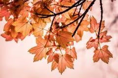 Vermelho outonal Imagens de Stock Royalty Free