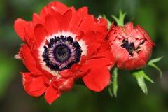 Vermelho Ranelle-como a flor da anêmona imagem de stock royalty free