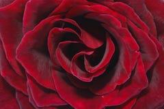 Vermelho Rosa de Lushious Fotografia de Stock