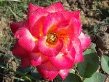 Vermelho Rose Dewdrop da manhã Fotos de Stock
