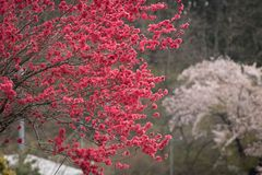 Vermelho Sakura Tree do sangue Fotografia de Stock Royalty Free