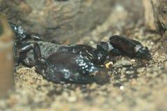 Vermelho tanzaniano escorpião agarrado Imagens de Stock Royalty Free