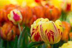 Vermelho tulipas amarelas com fundo avermelhado obscuro fotografia de stock