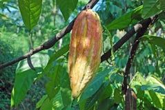 Vermelho-verde do vagem da fruta ou do cacau de árvore do cacau coulered Foto de Stock
