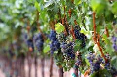 Vermelhos de amadurecimento do vinhedo Fotografia de Stock