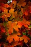Vermelhos do outono e laranjas, folhas de outono fotografia de stock