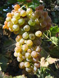 Vermentino. Bunch of grapes ready for harvest Royalty Free Stock Photography