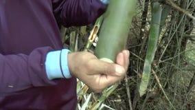 Vermi di bambù del ritrovamento della gente da mangiare stock footage