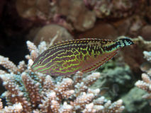 Vermiculate wrasse Стоковое Фото