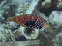 Vermiculate wrasse för korallfisk Fotografering för Bildbyråer