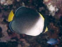 Vermiculated angelfish Стоковое фото RF