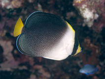 Vermiculated angelfish Royalty Free Stock Photo