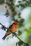The Vermilion Flycatcher. The Vermilion Flycatcher, Pyrocephalus rubinus, is a small passerine bird that can be found in the southwestern United States, Central Stock Photos