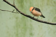 Vermilion flycatcher Royalty Free Stock Images