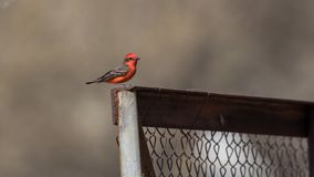 Male Vermilion Flycatcher. The vermilion flycatcher or common vermilion flycatcher is a small passerine bird in the Tyrannidae, or tyrant flycatcher family. Most Stock Photography
