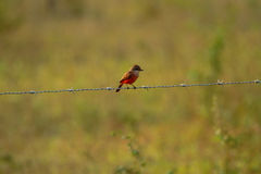 Vermilion flycatcher on a fence. A female Vermilion flycatcher on a fence in Belize Royalty Free Stock Photos