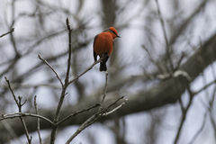 Vermilion Flycatcher. Male bird, perched on branch. Bright red stock photos