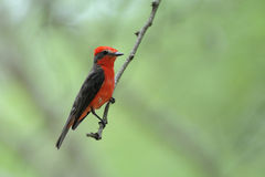 Vermilion Flycatcher Pyrocephalus Rubinos Royalty Free Stock Images