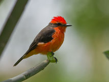 Vermilion Flycatcher (Pyrocephalus rubinos).. A brilliant  small red bird perching on a branch, Peru. The range of the Vermilion flycatcher is from United Royalty Free Stock Photo