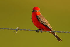 Vermilion Flycatcher, Pyrocephalus rubinus, beautiful red bird. Flycatcher sitting on the barbed wire with clear green background. Stock Photos