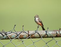 Vermilion Flycatcher Pyrocephalus rubinus female. Perched on a fence, Jocotopec, Jalisco, Mexico Royalty Free Stock Photo