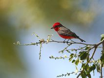 Vermilion Flycatcher Pyrocephalus rubinus male. Perched in a tree, Jocotopec, Jalisco, Mexico Stock Photos