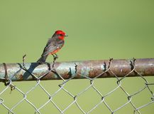 Vermilion Flycatcher Pyrocephalus rubinus perched on a fence. Jocotopec, Jalisco, Mexico Stock Image