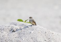 Vermilion Flycatcher Pyrocephalus rubinus Perched on a Rock on the Beach. In Mexico Stock Photo