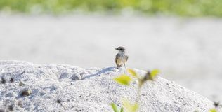 Vermilion Flycatcher Pyrocephalus rubinus Perched on a Rock on the Beach. In Mexico Royalty Free Stock Image