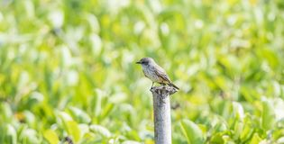 Vermilion Flycatcher Pyrocephalus rubinus Perched on a Tree Stump. In Mexico Stock Images
