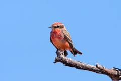 Vermilion Flycatcher Stock Photo