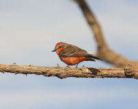 A Vermilion Flycatcher on a Tree Branch Stock Image