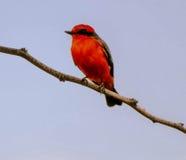 Vermilion flycatcher w drzewie Zdjęcia Stock