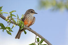 Vermilion Flycatcher & x28;Pyrocephalus rubinus& x29; Royalty Free Stock Photos