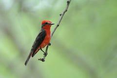 vermilion flycatcherpyrocephalusrubinos Royaltyfria Bilder