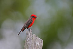Vermiljoenenvliegenvanger, Pyrocephalus-rubinus Stock Fotografie