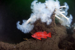 vermillion βράχου ψαριών Στοκ Εικόνες