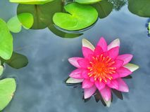 Vermillion και πορτοκαλής κρίνος νερού στοκ εικόνες