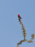 Vermillion Flycatcher Royalty Free Stock Photos