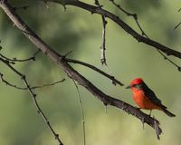 Vermillion flycatcher perched on branch royalty free stock images