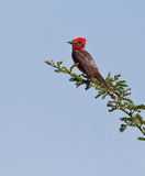 Vermillion Flycatcher on twig Stock Photography